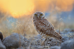 Sunset Portrait (bmse) Tags: portrait backlit burrowing owl sunset southern california