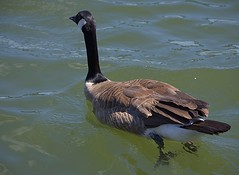 Swimming Goose (swong95765) Tags: goose canadiangoose water river floating swimming alert aware buoyant scavenging