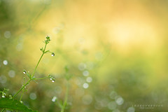 golden morning (srepton) Tags: sun gold golden summer drops water wet bokeh nature nikon
