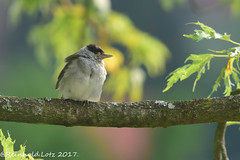 Warming Up (Explored 2017-07-14) (Reinhold.Lotz [too busy]) Tags: grasmückenartigensylviidae vögel mönchsgrasmückesylviaatricapilla natur kirtorf hessen deutschland de