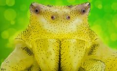 Crab Spider (Can Tunçer) Tags: can cantunçer cantuncer canon6d canon ff focus fotoğraf tunçer turkey turkiye türkiye tuncer tabletop stack stacking studio setup stand spider crab macro makro macros macrophotography micro mikro makros microscop microscope nikon nikon10x nature