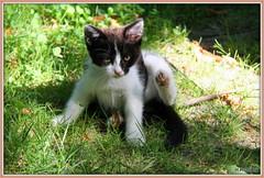 KELLY (Les photos de LN) Tags: chat chaton chatte pet cat félin animaldomestique animaldecompagnie kitten