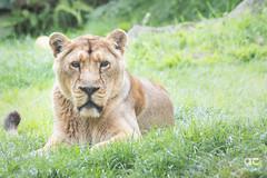 IMG_4119_DxO (QConnan-Photos) Tags: zooparcdetrégomeur zoo lion nature bretagne félin