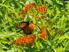 Monarch (pthompson108) Tags: butterflies danausplexippus monarch newhope pa asclepiastuberosa butterflyweed flowersplants