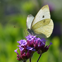 Male Small White on Verbena