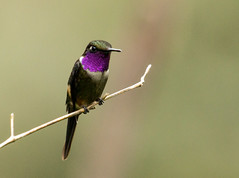 IMG_8824  Purple-throated Woodstar_hummingbird-male (ashahmtl) Tags: purplethroatedwoodstar bird hummingbird woodstar male calliphloxmitchellii mindo pichinchaprovince ecuador