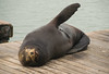 Pier 39 Sea Lion (ap0013) Tags: san francisco california sanfranciscocalifornia sanfranciscoca pier fishermanswharf fishermans wharf sea lion sealion seal animal pier39 pier39sealion