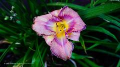 DSC01089 (Aldona Induła) Tags: sony a6000 bezedycji flower garden kwiat notedited ogród prostozaparatu straightfromthecamera