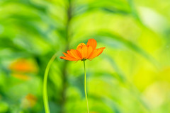 Cosmos Sulphureus : キバナコスモス (Dakiny) Tags: 2017 summer july japan kanagawa yokohama aoba ichigao outdoor nature field park plant flower flora cosmos cosmossulphureus goldencosmos sulphurcosmos yellowcosmos yellow macro bokeh nikon d750 sigma apo 70200mm f28 ex hsm apo70200mmf28dexhsm sigmaapo70200mmf28dexhsm club it