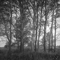 A row of trees (Other dreams) Tags: soft light vistulavalley trees poplar bw analogphotograpy film fp4 id11