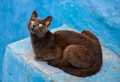 Cat (silviacantub) Tags: cat pets animals nature morocco blue animal mammal yellow closeup chefchaouen