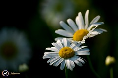 Summer Flowers (S. Sebastian Photography) Tags: flower flowers white green outside macro small beautiful yellow nature