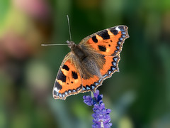 Small Tortoiseshell butterfly (Happy snappy nature) Tags: smalltortoiseshell butterfly insect closeup detail beautiful vibrant colourful nature wildlife midwales outdoors sunnyday