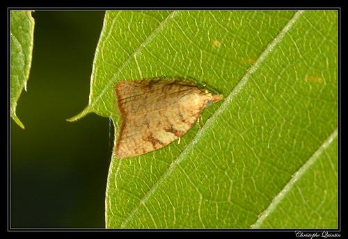 Aleimma loeflingiana
