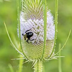 Dinner (jmhutnik) Tags: bee thistle purple summer greenbottomwildlifemanagementcenter july westvirginia lesage cabellcounty