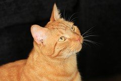 ROCKY (merseymouse) Tags: cats pets gingercats felines