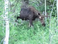 bull Moose (TG23-Birding in a Box) Tags: grandtetonnationalpark moose wyoming