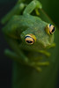 Frog (Hypsiboas sp.)