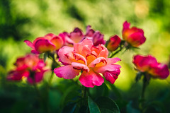Roses (Ákos Fekete) Tags: roses rose helios442 vintageprime vintage prime plant flower garden outdoors nature naturescomposition naturephotography old colorful beautifulcapture mbpictures bokeh summer summertime summerfeel red green orange pink magenta yellow sony sonyalpha6000 emount mirrorless milc csc evil