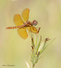 Eastern Amberwing (sbuckinghamnj) Tags: easternamberwing amberwing dragonfly odonata insect mountainsidepark pequannock newjersey