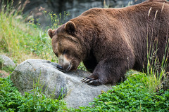 Brown Bear (jeff's pixels) Tags: grizzly brownbear bear mammal animal woodlandparkzoo