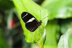 20170715-IMG_7353 (SGEOS@EARTH) Tags: vlindertuin vlinder vlinders butterfly butterflies vlindersaandevliet observer colorfull insects nectar indoor nature wildlife canon macro 100mm