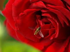 Schwebfliege beim Frühstück (reuas ogni) Tags: wespe wasp insekt insect natur nature wildlife makro macro olympus zuiko isoz rose blume flower red rot schwebefliege schwebfliege
