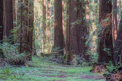 DSD_3480-1 (Gedawei 葛大为) Tags: henrycowell redwoods california nature d750 nikon 100m tokina