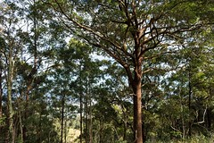 Pink Bloodwood (dustaway) Tags: myrtaceae corymbia corymbiaintermedia pinkbloodwood australiantrees trunk branching habit tamborinemountain mounttamborine sequeensland queensland australia australianplants australianflora
