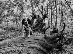 Sitting (Gilder Kate) Tags: sweetchestnut trunk treetrunk fallen old richmondpark royalparks london richmond sidmouthwood panasoniclumixdmctz70 panasoniclumix panasonic lumix dmctz70 tz70 cockerspaniel workingcockerspaniel blackandwhitecocker