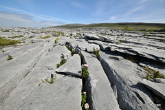 Grikes and Glints. (mcgrath.dominic) Tags: hempagrimony glints grikes karstlandscape wildflowers theburren coclare
