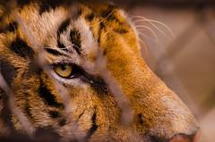 _DSC3403 (SWIFTKRITSAMAS) Tags: kritsamas kritsamasualapun swiftkritsamas qrswiftuv zoo thailand thailandzoo animal wildlife tiger lion outdoor nikon nikond7000 d7000 sigma tamron bangkokphotographer bangkok 2017