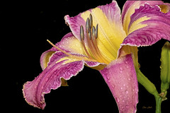 Raindrops (ChristopherLeeHewitt) Tags: daylily nature raindrops storm pink yellow flower nursery nikon macro stamens northcarolina mountains color bright onblack rain ngc npc