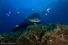 IMG_6060 (davide.clementelli) Tags: scuba underwater underwaterlife diving dive immersione portofino colori colors colore color fishes fish pesci grouper cernia