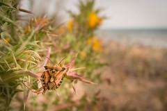 Chinche de campo mirando al mar (marysaesteban) Tags: 2017 zahora cádiz playa closeup 7dwf scolymus cardo compositae compuestas hemiptera insecto insect insecta chinche