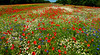 Lest we Forget (Carol Crook) Tags: poppy poppies wildflowers cornflowers nma nationalmemorialarboretum memorial field warmemorial daisy dasies