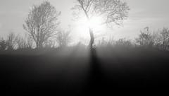 Brennende Bäume - Lichtspiele morgens beim Rinderzählenk; Bergenhusen, Stapelholm  (12) (Chironius) Tags: stapelholm bergenhusen schleswigholstein deutschland germany allemagne alemania germania германия niemcy morgendämmerung sonnenaufgang morgengrauen утро morgen morning dawn sunrise matin aube mattina alba ochtend dageraad zonsopgang рассвет восходсолнца amanecer morgens dämmerung gegenlicht nebel fog brouillard niebla baum bäume tree trees arbre дерево árbol arbres деревья árboles albero árvore ağaç boom träd