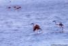 face-IMG_4235 (José C@rlota) Tags: phoenicopterus roseus flamingos birds