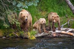 Mom & 3 cubs Looking Both Ways-2 (blackhawk32) Tags: katmai bears brooksfalls grizzlybear katmainationalpark landscape northamericanbrownbear
