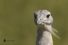 Avutarda común macho (Otis tarda) (jsnchezyage) Tags: avutardacomún otistarda ave pájaro fauna naturaleza birding bird bustard
