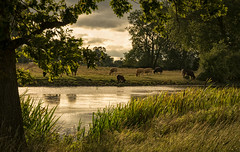 Cows by the river (cliveg004) Tags: cattle cows croome croomepark worcestershire river trees grass evening summer nikon d52001685mm