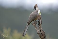 Bare-faced go-away-bird (V I J U) Tags: 2016 africa kenya masaimara nature safari travel vijujose wildlife narok ke barefacedgoawaybird canon5dmarkiii ef500mmf4lisii birds birding