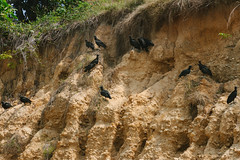 Vulture Committee, Colombia (AdamCohn) Tags: adamcohn colombia birds carrion committee geo:lat=7989828 geo:lon=73506246 geotagged scavengers scavenging vulturecommittee vultures wwwadamcohncom sanmartin cesar