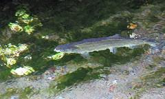 salmon (romamar76) Tags: salmon washington fish hatchery underwater abstract