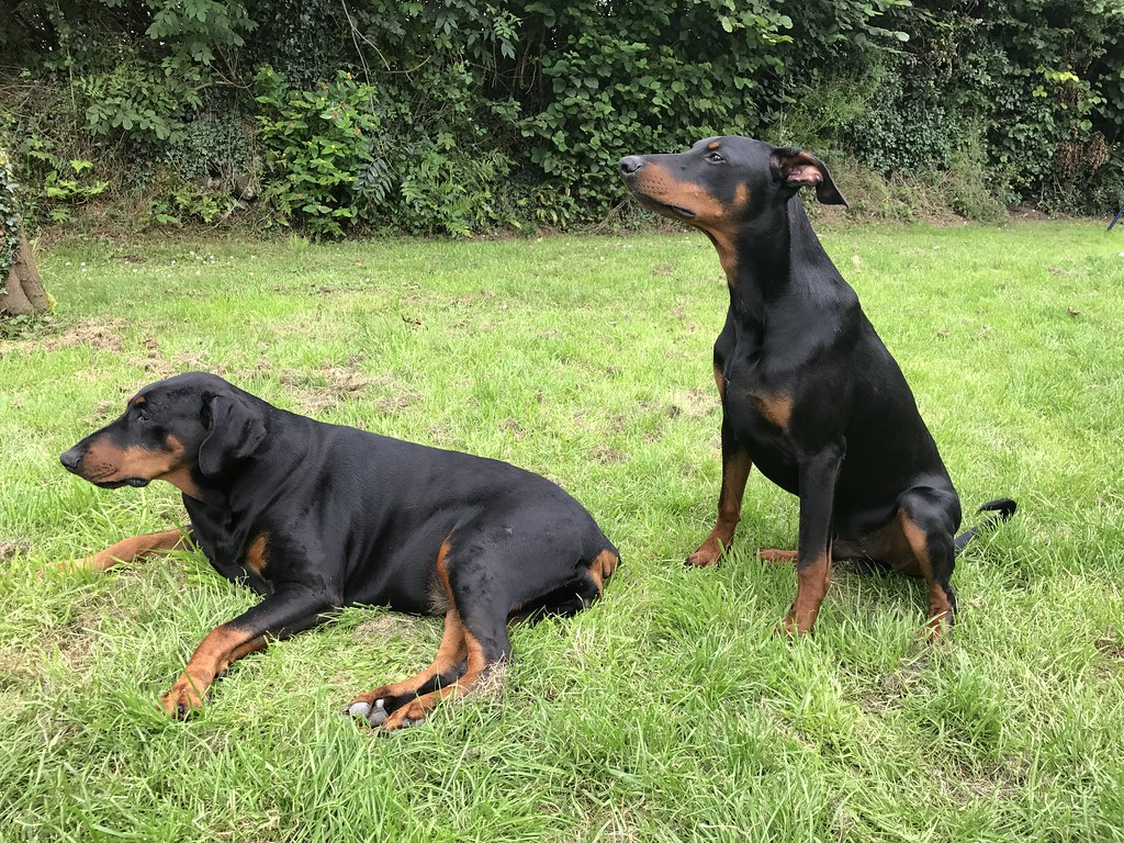 the world 39 s best photos of doberman and puppy flickr hive mind. Black Bedroom Furniture Sets. Home Design Ideas