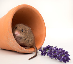 """Is it safe out there?"" (susie2778) Tags: olympus omdem1mkii olympusm12100mmf40 captive captivelight studio flash harvestmouse bournemouth lavender plantpot"