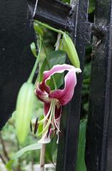 red lily on ESB fence (Devon McSee) Tags: esb garden
