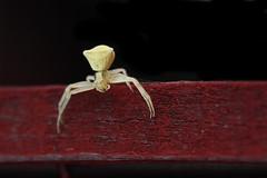 Thomisus spectabilis Doleschall - Crab spider (halukderinöz) Tags: örümcek spider yengeç crab dişi female ankara kızılcahamam türkiye turkey hd
