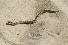 Hognose Snake (brucetopher) Tags: snake hognose brown spotted checkered sandcolored sandcolor sand dune beige sandy beigeandbrown checkerboard blotches markings adder viper beach dunes sanddune reptile animal fauna dry desert arid habitat slither crawl sidewind creature critter