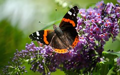 Red Admiral (Doolallyally) Tags: redadmiral butterfly devon england